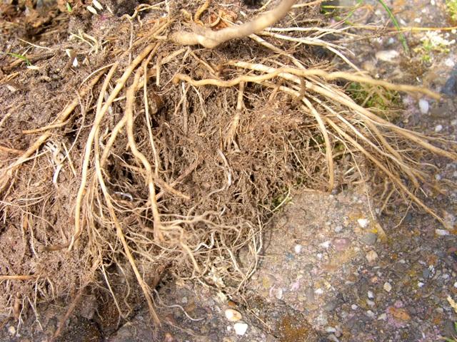 wortelstelsel van Jakobskruiskruid