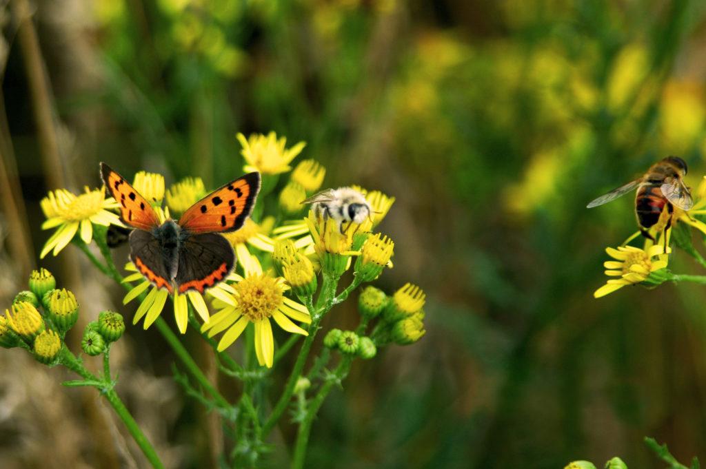 Kleine Vuurvlinder Lycaena phlaeas op Jakobskruiskruid