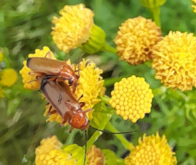Kleine-rode-weekschild-Rhagonycha-fulva.