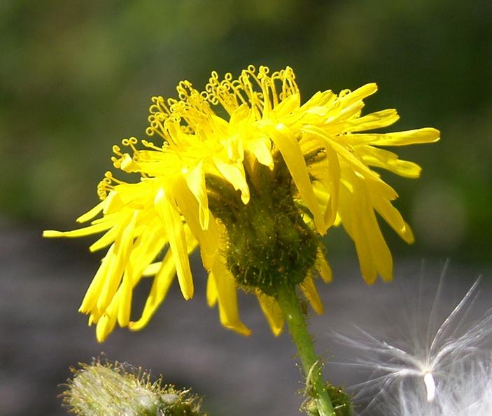 gewone melkdistel ( sonchus oleraceus)