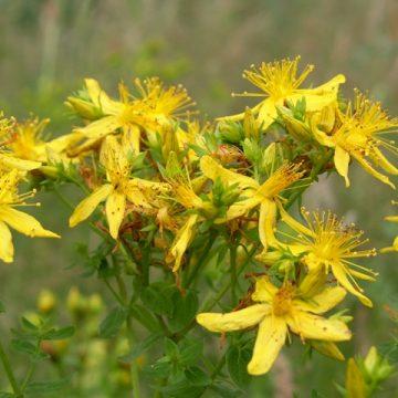 Niet alles wat geel bloeit is Jakobskruiskruid.