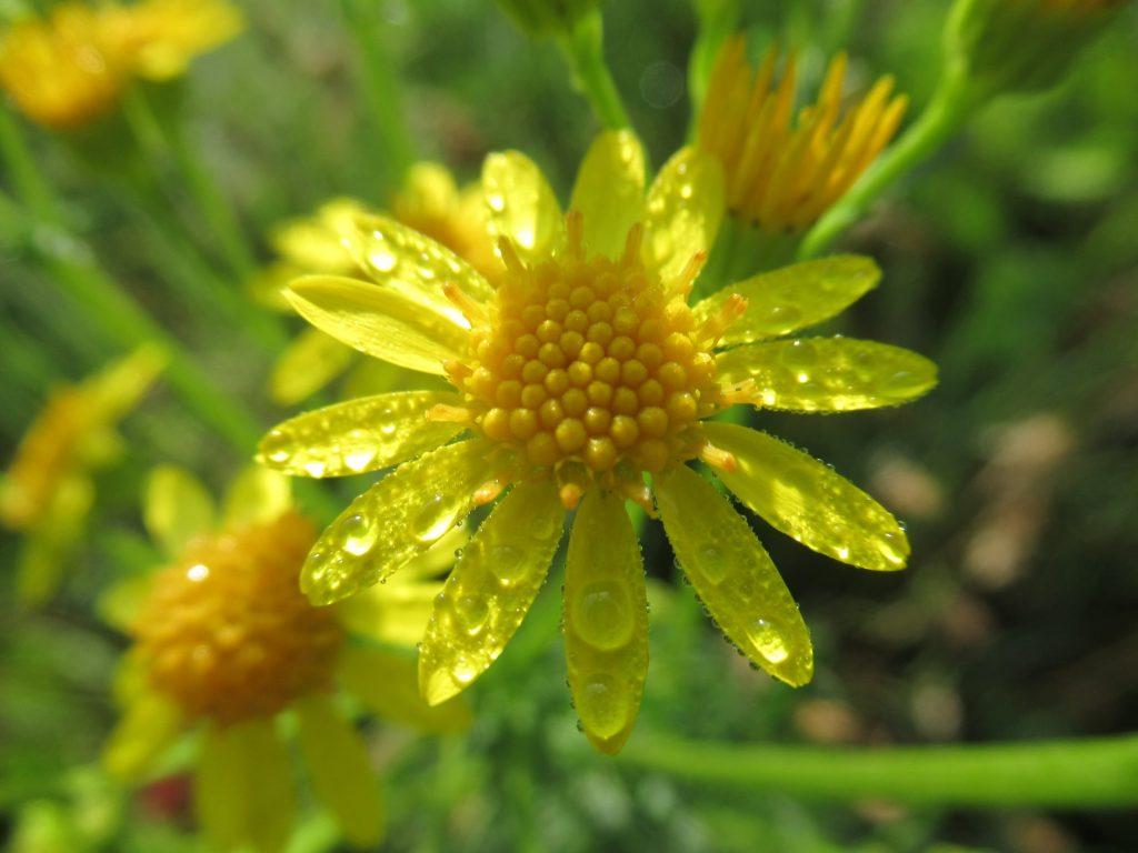 Giftige alkaloiden na bloei