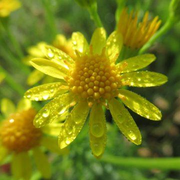 Waar blijven de giftige alkaloïden van Jakobskruiskruid na de bloei?