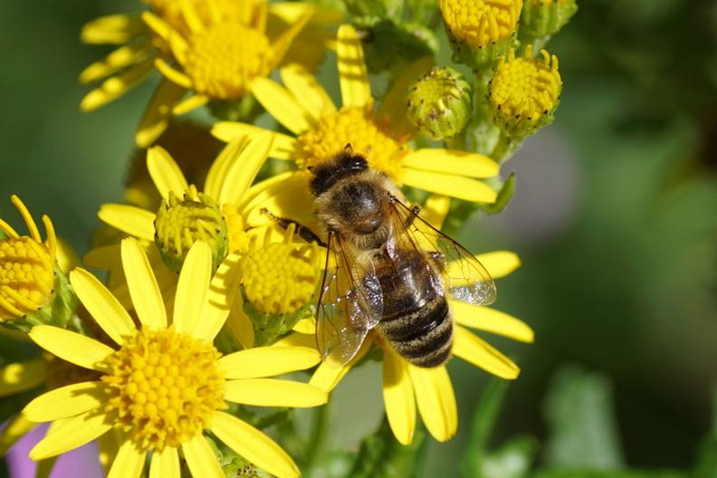 Honingbij op Jakobskruiskruid