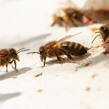 Jakobskruiskruid en giftige honing?