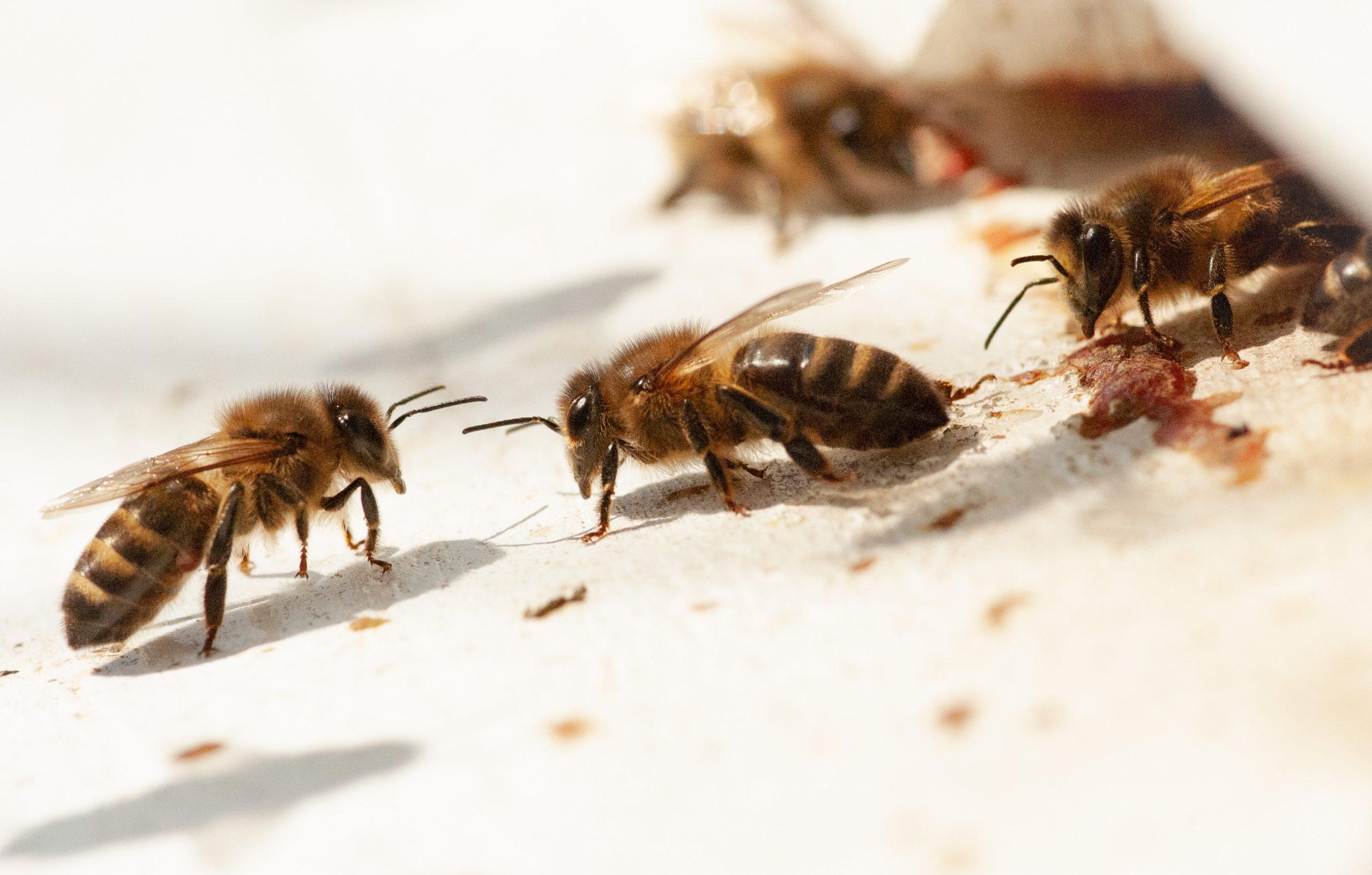 Jakobskruiskruid en giftige honing?ningbij