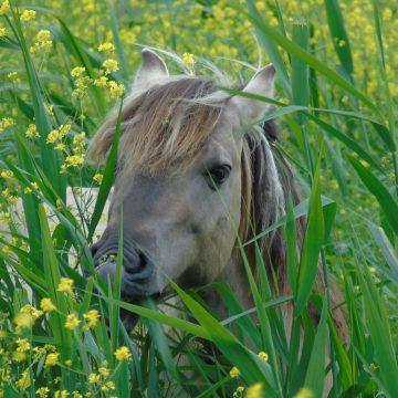 Eten paarden vaak vers kruiskruid, of zijn het uitzonderingen?